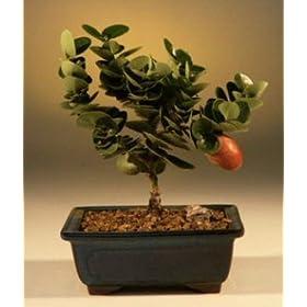 Flowering Plum Bonsai Tree