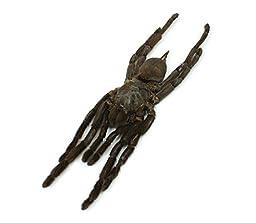 Real Dried Tarantula Specimen