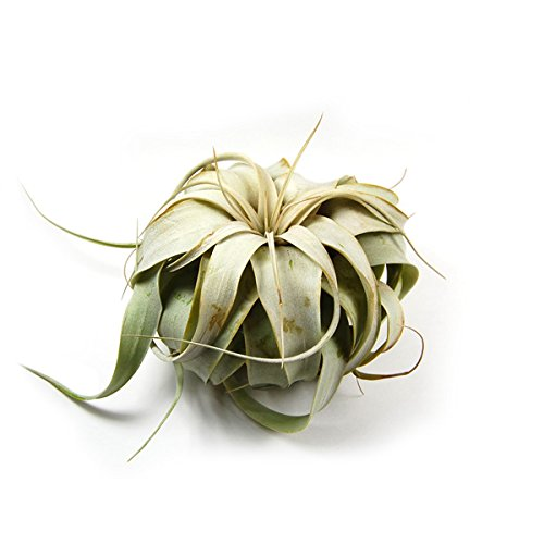 Xerographica Air Plants
