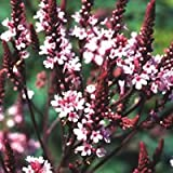 Just Seed - Flower - Verbena hastata rosea - 100 Seed - Distinct