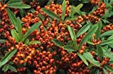 Pyracantha Plants -Variety Orange Charmer - Commonly Known as the Firethorn Plant