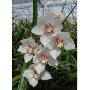 Orchid Care - White cymbidium