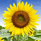 SUNFLOWER HELIANTHUS ANNUUS FLOWER SEEDS (AVG 30-50 SEEDS) PACK OF 4 SOLD BY GARDEN NEEDS