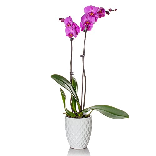 just-add-ice-phalaenopsis-orchid