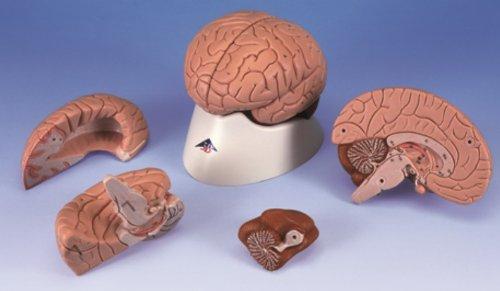 Education Scientific Products - Brain Model, 4 part