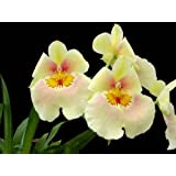 Miltoniopsis Andrea West yellow orchid blooming size