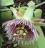 Sweet Granadilla Passion Flower 15 Seed/Seeds