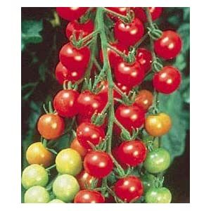 Super Sweet 100 Hybrid Tomato 4 Plants -Very Productive