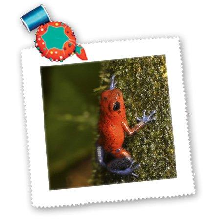 Qs_87255_5 Danita Delimont - Frogs - Strawberry Poison-Dart Frog, La Selva, Costa Rica - Sa22 Mpr0048 - Maresa Pryor - Quilt Squares - 14X14 Inch Quilt Square