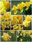UK-Gardens Mixed Yellow Daffodil Bulbs Bulk 25kg Bag - Garden Bulbs Spring Flowering Narcissi / Narcissus / Daffodils