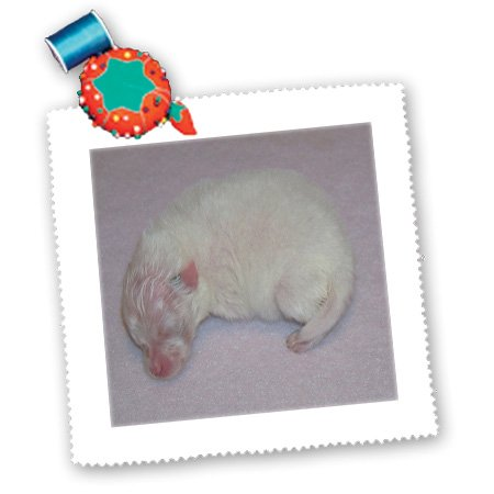Qs_15785_2 Rebecca Anne Grant Photography Dogs - Newborn White Pomeranian Puppy - Quilt Squares - 6X6 Inch Quilt Square front-236605