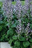 Just Seed - Herb - Clary Sage - Salvia sclarea - 1000 seeds - large