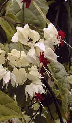 White Bleeding Heart Vine Plant - Clerodendrum