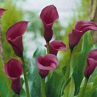Buy Anneke Purple Calla Lily Bulb – True Purple Color