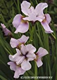 Siberian Iris Roanoke's Choice