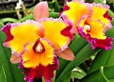 Lawn & Patio - Potinara Dick Smith 'Paradise' Hybrid Orchid Plant [CAT073]