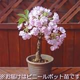 桜 盆栽 一才桜 ポット苗