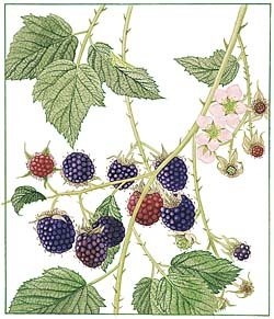 Rosenberg: Fruit Berries - Blackberries