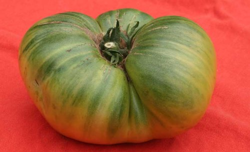 Helenion, Fleisch-Tomate &#39;Green Giant&#39; (Pflanze) - Lycopersicon esculentum &#39;Green Giant&#39;