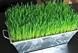 Certified Organic Hard Red Wheat - 1000+ Seeds - For Growing Wheatgrass to Juice, Sprouting Seed, Grinding to Make Flour & Bread, Growing Ornamental Wheat Grass & More. Makes Excellent Food Storage. Outstanding Germination Rate.