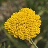 Schafgarbe Achillea filipendulina Coronation Gold