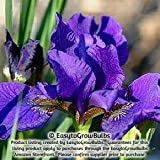 Siberian Iris Ruffled Velvet - One 3/5 fan Bare Root Iris Plant