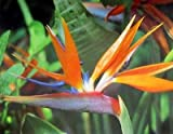 Lawn & Patio - Bird of Paradise Plant ORANGE Tropical plant [BOP04]