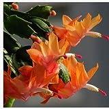 Zygocactus Truncatus、シャコバサボテン種子、屋内鉢植え、グリーン植物 - 20種の種子