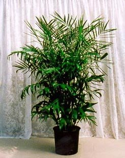 Palm Plants - Bamboo Palm