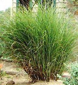 miscanthus gracillimus grass 1 order. Black Bedroom Furniture Sets. Home Design Ideas