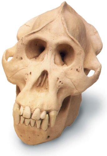Orang-Utan Skull W/Stand Antique Finish