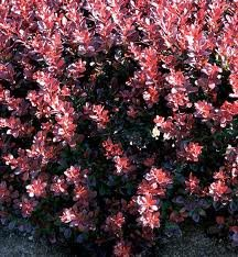 Red Japanese Barberry - Berberis Thunbergii Atropurpurea - 1 Pkt Of 25 Seeds - Fruiting Shrub