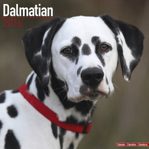 Dalmatian Calendar - Only Dog Breed Dalmatian Calendar - 2016 Wall calendars - Dog Calendars - Monthly Wall Calendar by Avonside