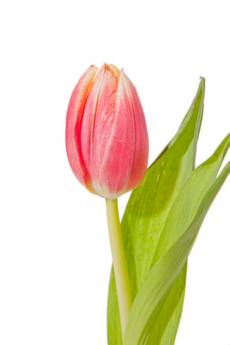 150 Pink Tulips Direct From Holland - Wholesale Flowers