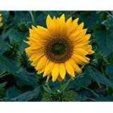 David's Garden Seeds Sunflower Sunspot N120HJ (Yellow) 100 Hybrid Seeds