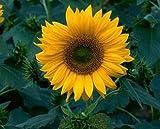 David's Garden Seeds Sunflower Sunspot DGSSUN120HJ (Yellow) 500 Hybrid Seeds