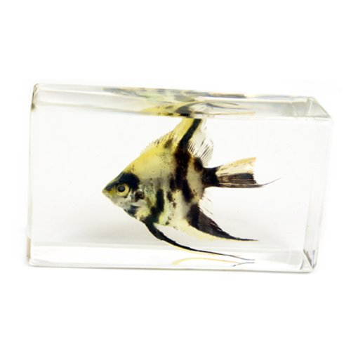 "Angel Fish Paperweight (2.9x1.6x1"")"