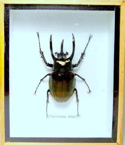 rare-giant-3-horn-rhino-beetlea1-taxidermy-insect-box-entomology-gift