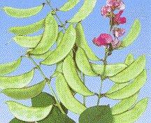 Honeyman Farms 4164 Hyacinth Bean Akahana Fujimame Seed Packet