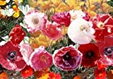 Search : Poppy Cascade Pocket (Papaver Rhoeas) Mix a Blend of California Poppy, Red Poppy, Iceland Poppy and Shirley Poppy. Attracts Hummingbirds and Butterflies Easy to Grow! Approx 100 Seeds