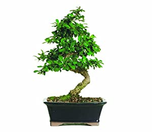 Brussel's CT0116FT Fukien Tea Bonsai