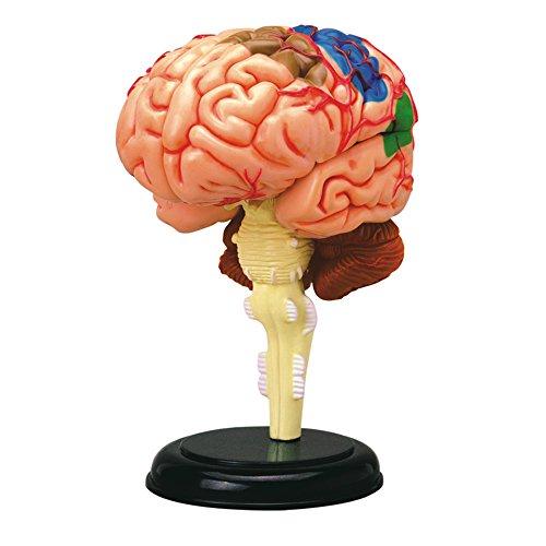 TEDCO 4D Anatomy Brain Model (Brain Model compare prices)