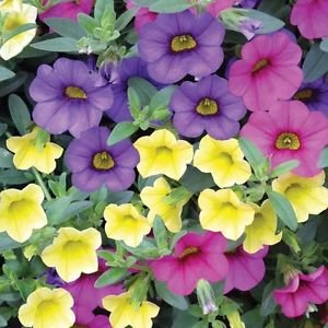 Upto Rs.100 off On Amazon Gift Cards By Amazon | Indian Gardening Mixed Colors Petunia Flower Seeds 30 Seeds [Kitchen & Home] @ RS.90