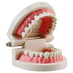 Airgoesin Dental Dentist Adult Standard Typodont Demonstration Teeth Teaching Model