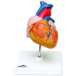 3B Scientific G08 2 Part Classic Heart Model, 7.5\
