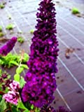 Butterfly Bush Buddleia Black Knight 60 Cm In 3 Liters Plant Container