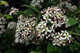 SKIMMIA JAPONICA RUBELLA HARDY SCENTED WINTER FLOWERING SHRUB IN 7CM POT