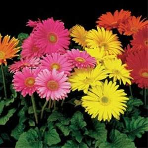 Gerbera Mix - 100 Seeds