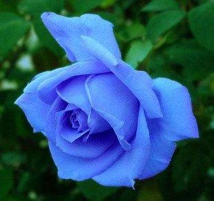 Blue Rose Seeds! 5 Seeds!