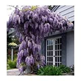 *Seeds and Things Blue Japanese Wisteria Vine 10 Seeds - Hard to Find! Stunning